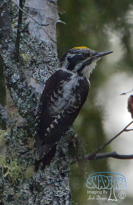 Three-toed Woodpecker - Picoides dorsalis