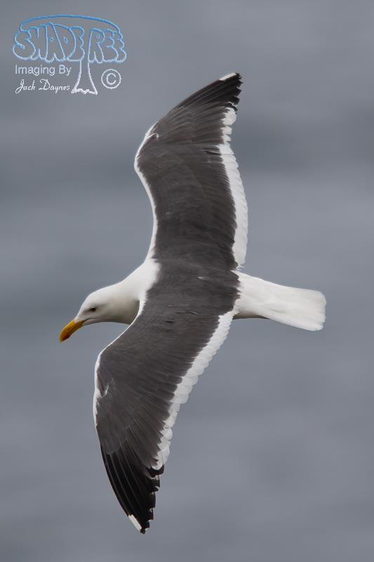 Western Gull - Larus occidentalis