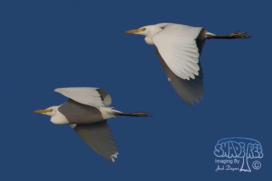 Cattle Egret - Bubulcus ibis