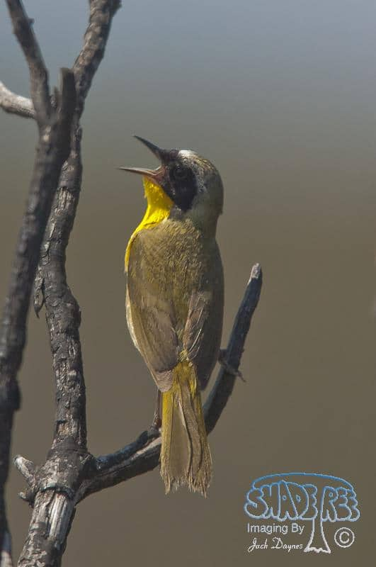 Common Yellow-throat - Geothlypis trichas