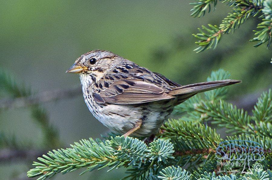 Lincoln's Sparrow - Melospiza lincolnii