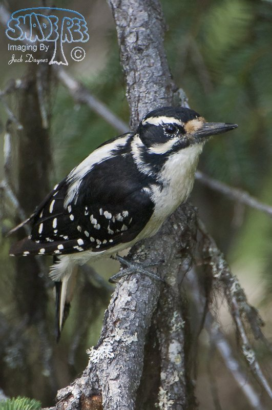Hairy Woodpecker - Picoides villosus