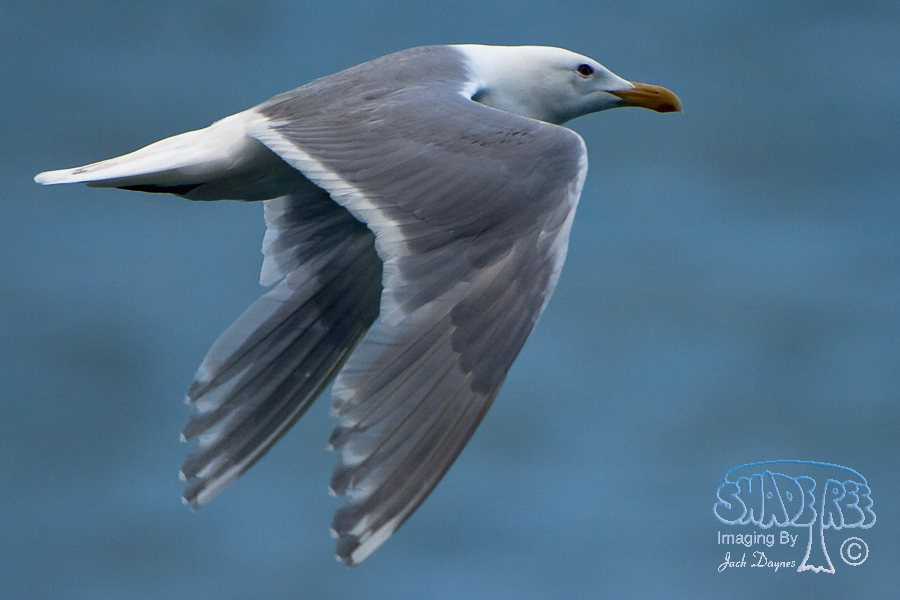 Glaucous-Winged Gull - Larus glaucescens