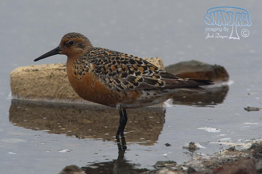 Red Knot - Calidris canutus