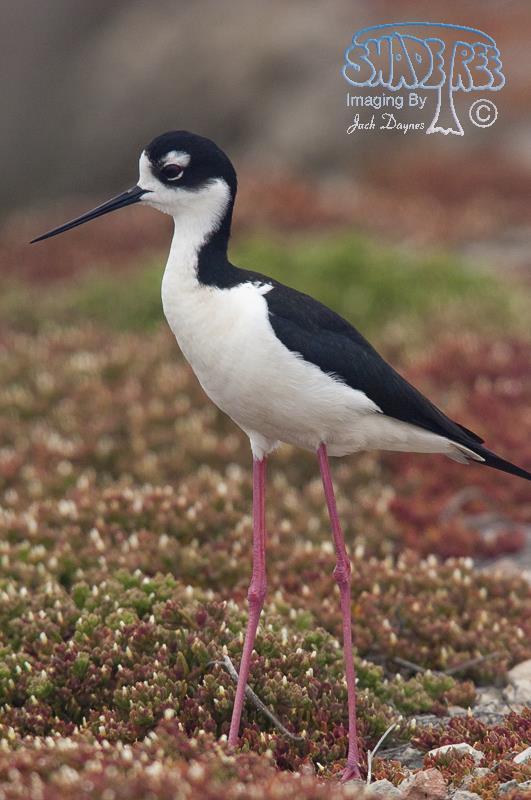 Black-necked Stilt - Myiarchus cinerascens