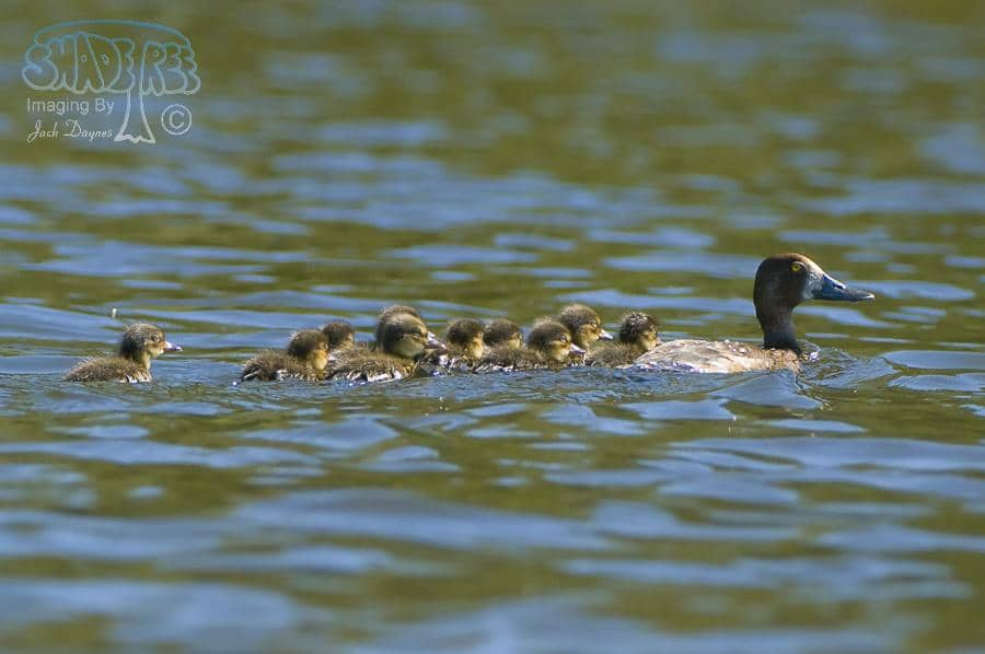 Lesser Scaup - Aythya affinis