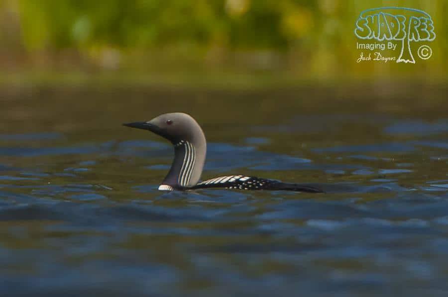 Pacific Loon - Gavia pacifica