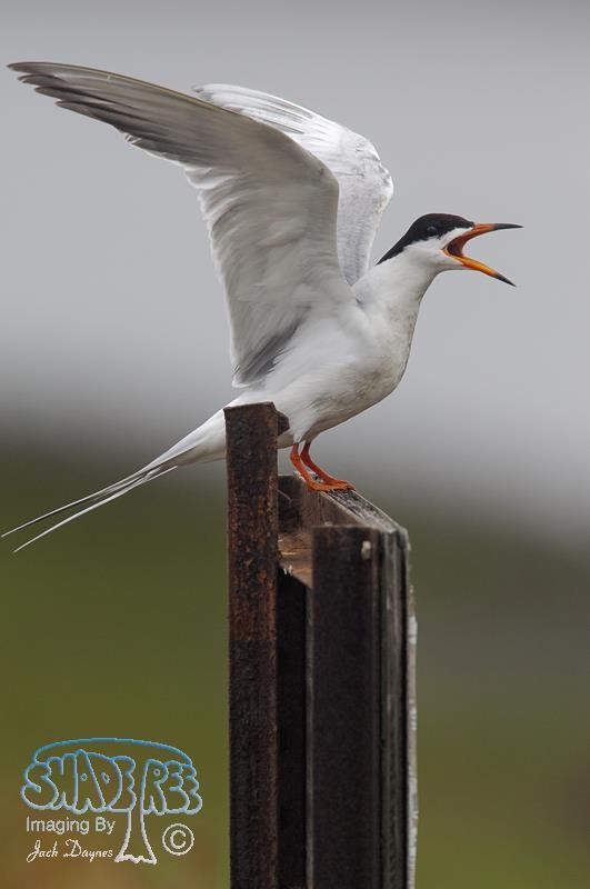 Forster's Tern - Sterna forsteri