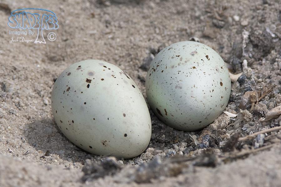 Caspian Tern Nest - Hydroprogne caspia