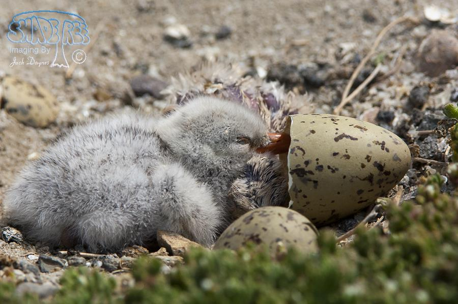 Caspian Tern Chicks - Hydroprogne caspia