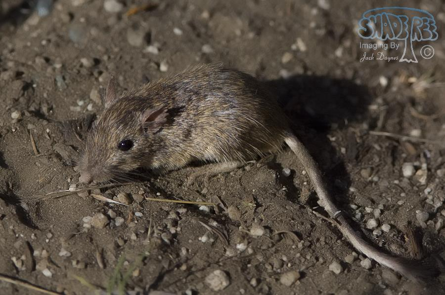 California Pocket Mouse - Chaetodipus californicus