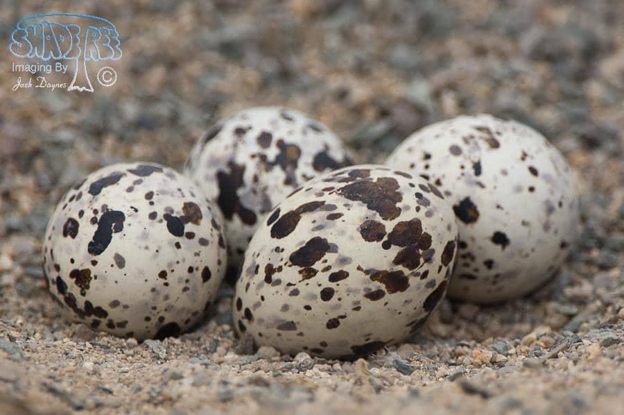 Black Skimmer Eggs - Rynchops niger