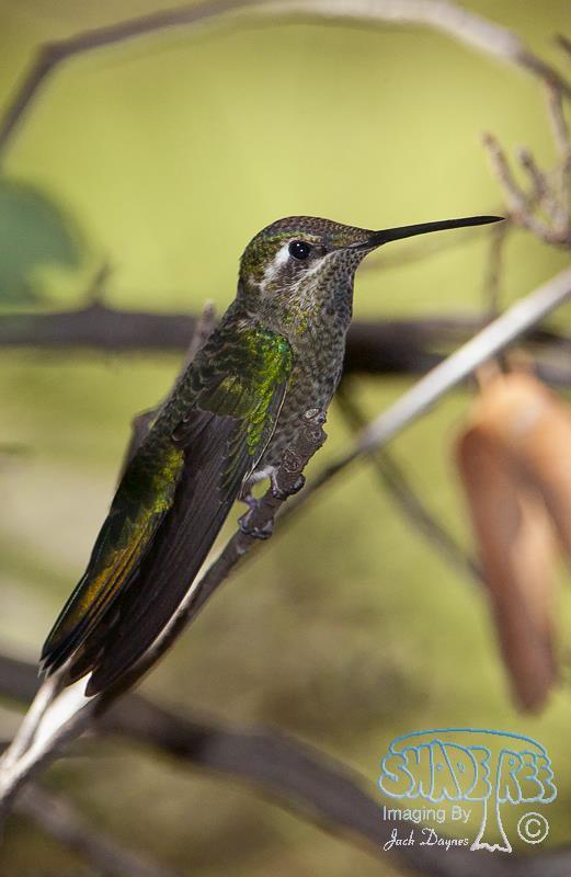 Blue-throated Hummingbird - Lampornis clemenciae