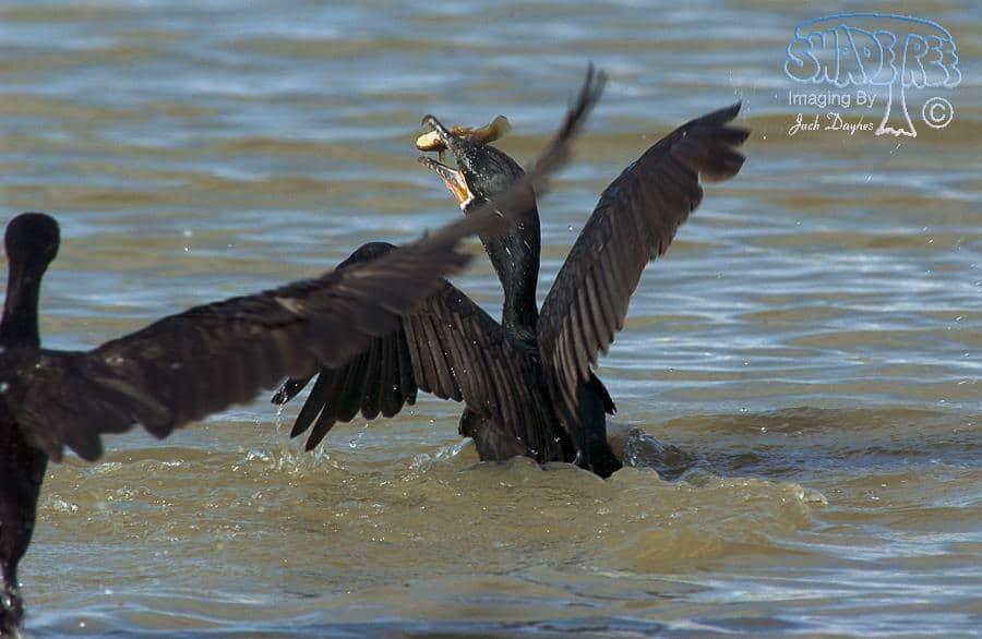 Neotropic Cormorant - Phalacrocorax brasilianus