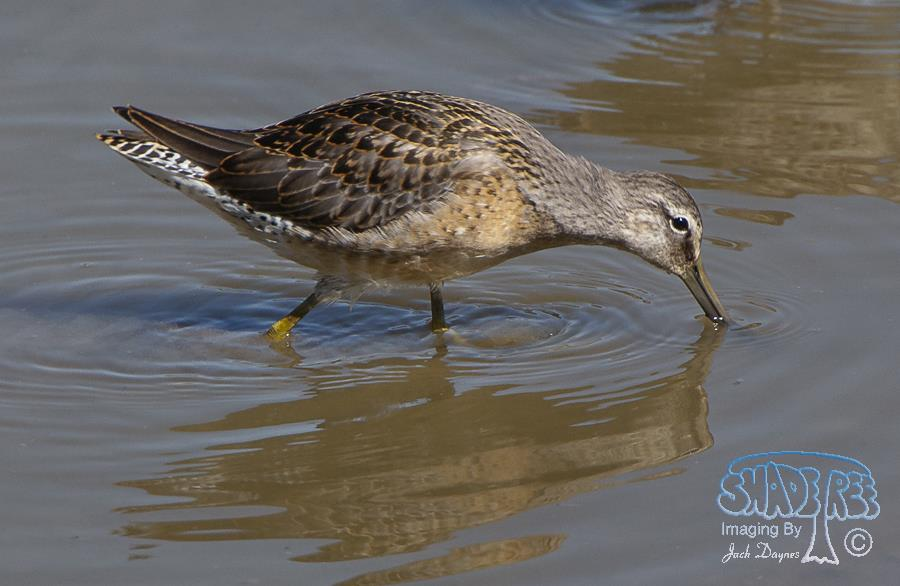 Long-Billed Dowitcher - Limnodromus scolopaceus