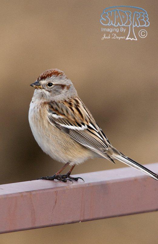 American Tree Sparrow - Spizelloides arborea