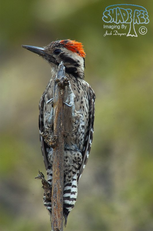Ladder-Backed Woodpecker - Phasianus colchicus