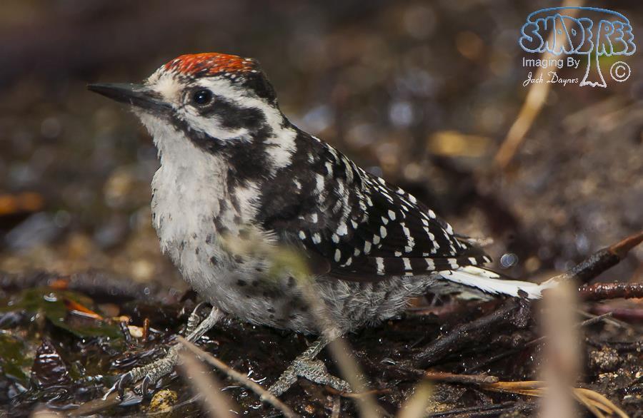 Nuttall's Woodpecker - Dryobates nuttallii