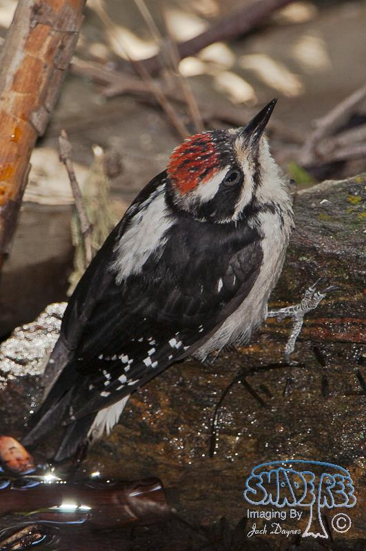 Hairy Woodpecker - At The Waterhole. Santa Rosa Mountain, Southern Riverside County, California.