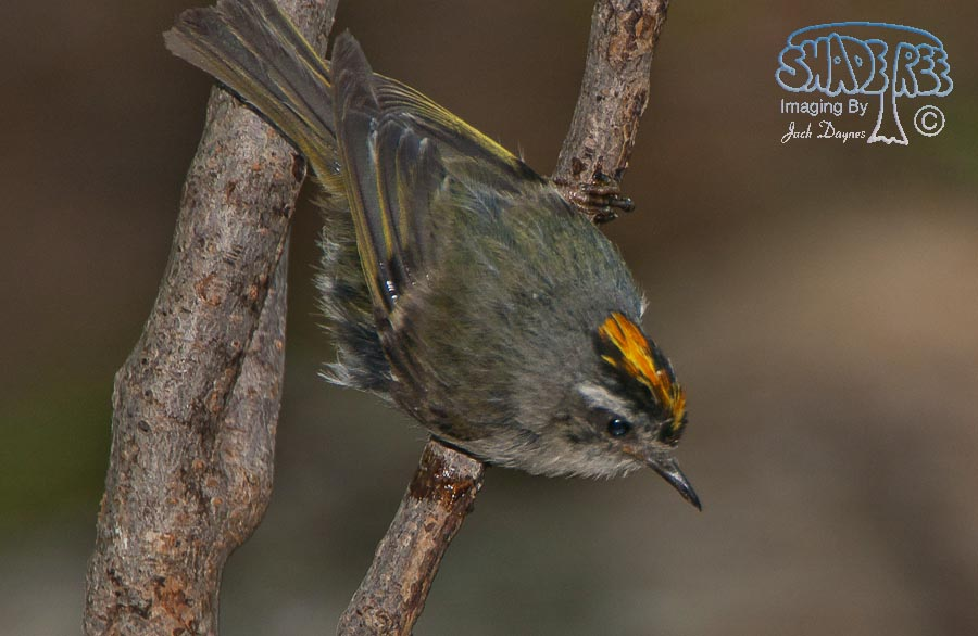 Golden-Crowned Kinglet - Regulus satrapa
