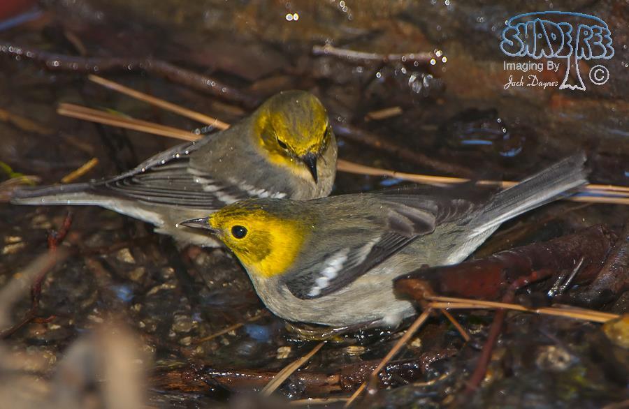 Hermit Warbler - Setophaga occidentalis