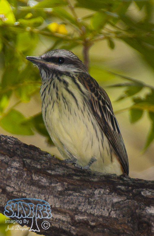 Sulphur-Bellied Flycatcher - Myiodynastes luteiventris