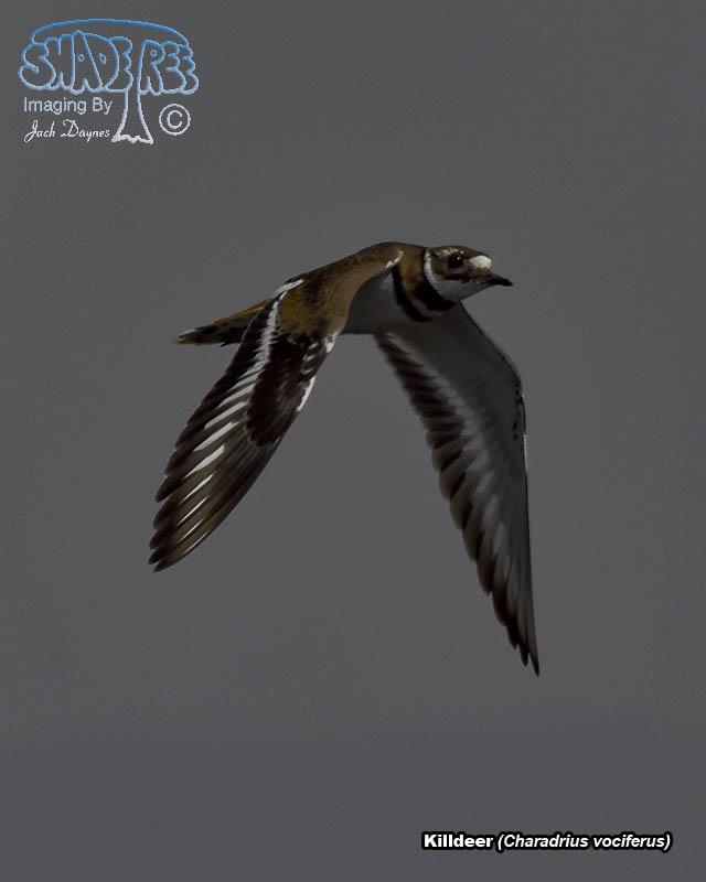 Killdeer - Charadrius vociferus