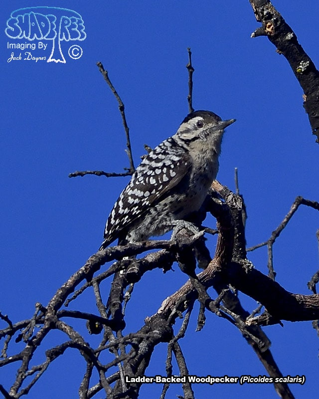 Ladder-Backed Woodpecker - Picoides scalaris