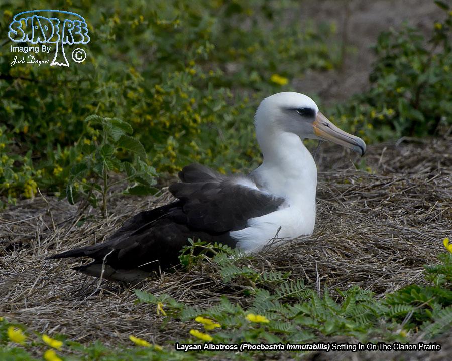 Laysan Albatross - Phoebastria immutabilis