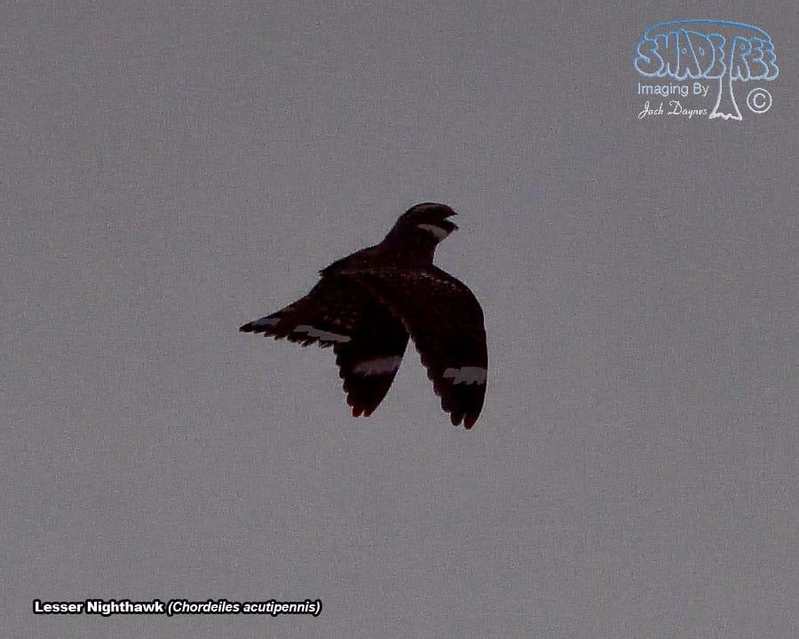 Lesser Nighthawk - Chordeiles acutipennis