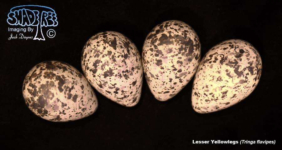 Lesser Yellowlegs - Tringa flavipes