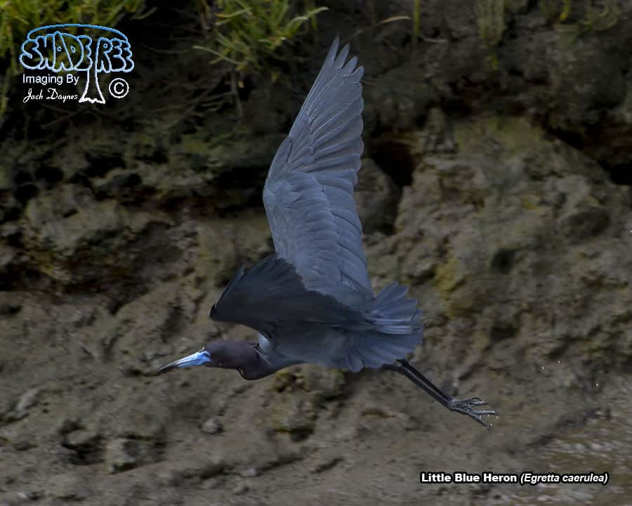 Little Blue Heron - Egretta caerulea