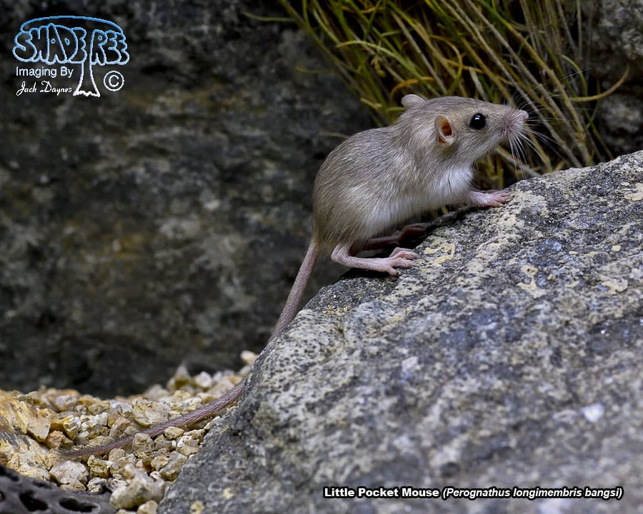 Little Pocket Mouse - Perognathus longimembris bangsi