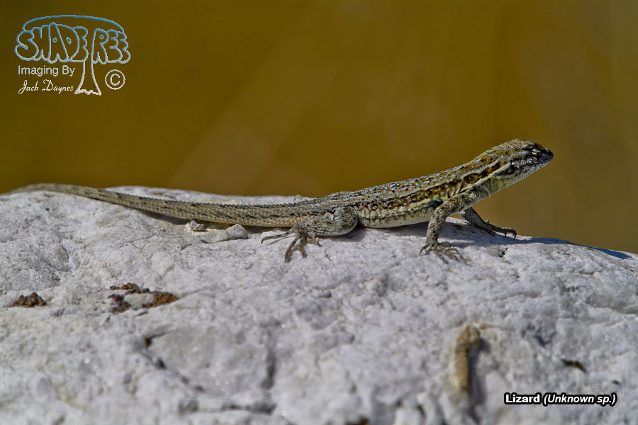 Lizard - Unknown sp.