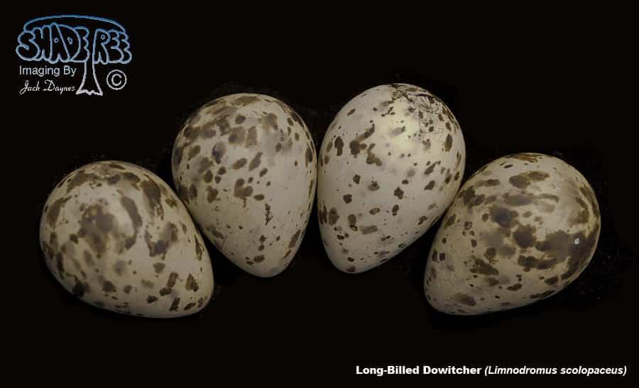 Long-Billed Dowitcher - Limnodromus scolopaceus