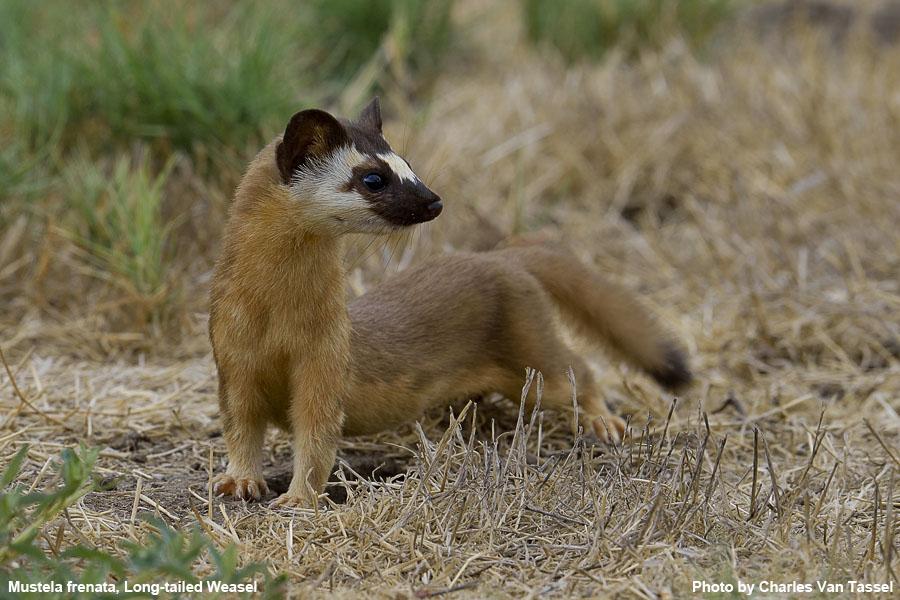 Long-Tailed Weasel - Mustela frenata