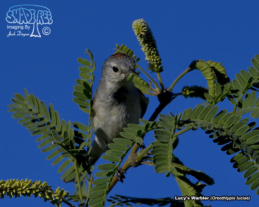 Lucy's Warbler - Oreothlypis luciae