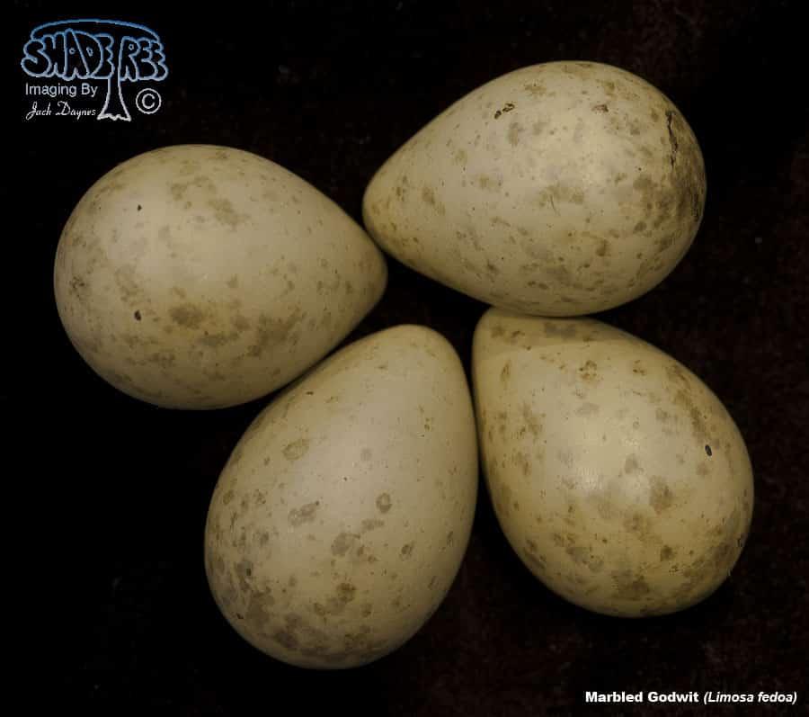Marbled Godwit - Limosa fedoa