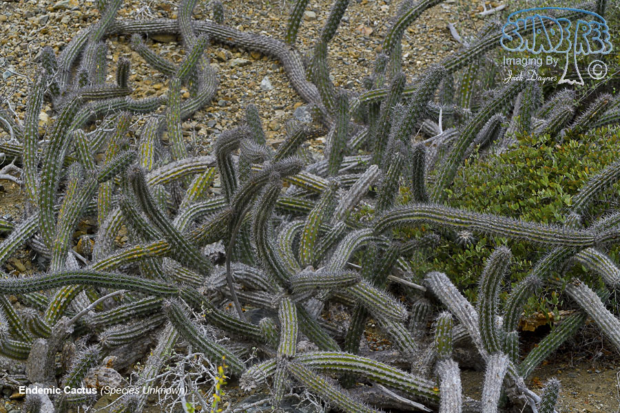 Endemic Cactus - Unknown