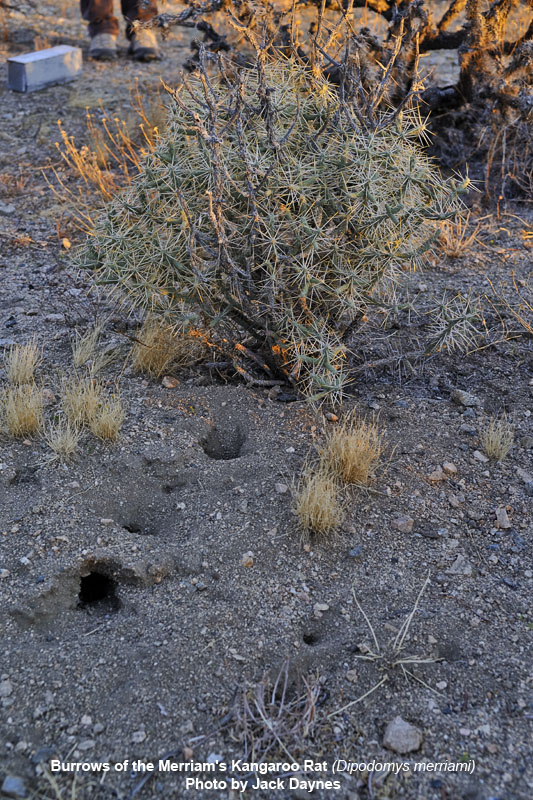 Merriam's Kangaroo Rat Burrows