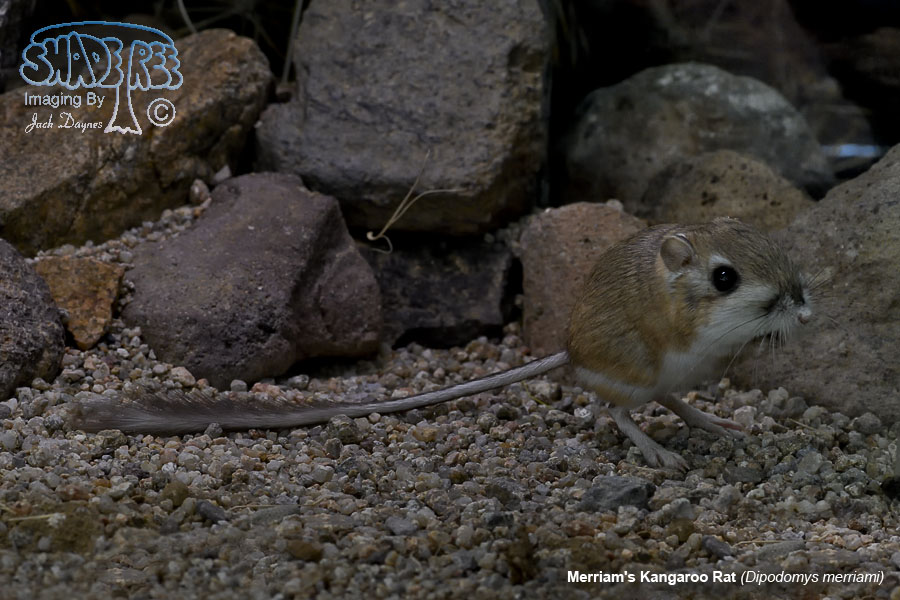 Merriam's Kangaroo Rat - Dipodomys merriami