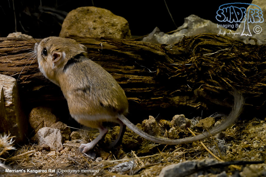 Merriam's Kangaroo Rat - Dipodomys merriami