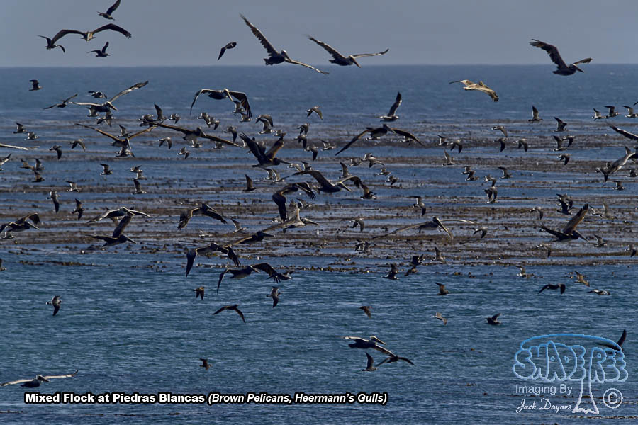 Pelicans and Gulls - Scenery
