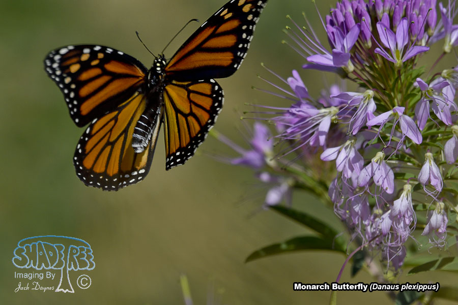 Monarch Butterfly - Danaus plexippus