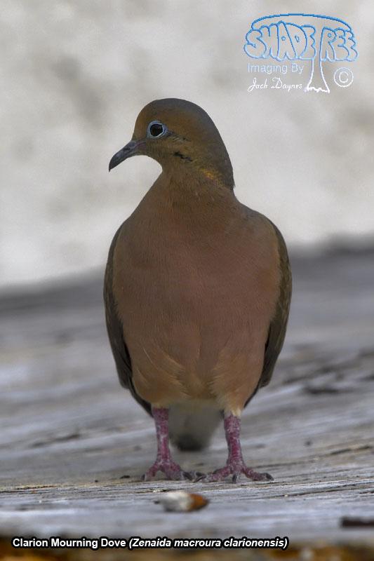 Clarion Mourning Dove - Zenaida macroura clarionensis