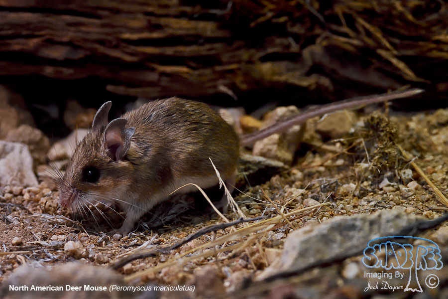 North American Deer Mouse - Peromyscus maniculatus