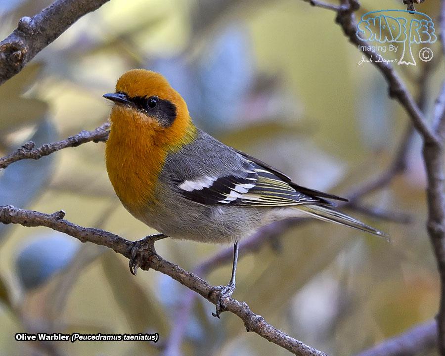 Olive Warbler - Peucedramus taeniatus