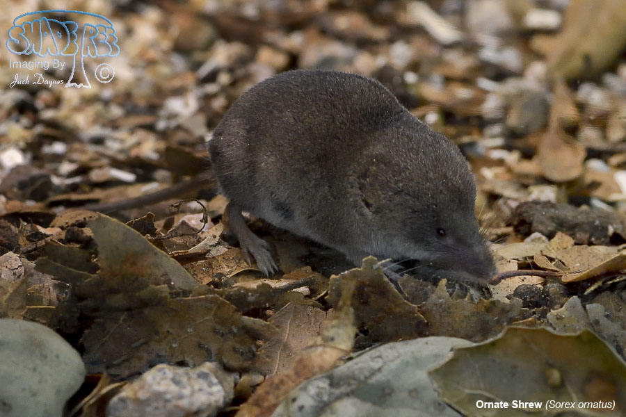 Ornate Shrew - Sorex ornatus