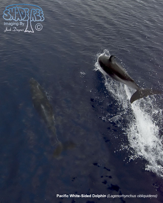 Pacific White-Sided Dolphin - Lagenorhynchus obliquidens