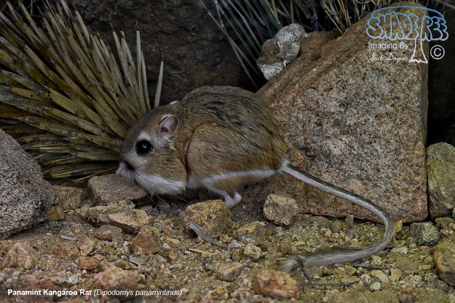 Panamint Kangaroo Rat - Dipodomys panamintinus